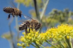 El uso de pesticidas puede acabar con las ABEJAS y su necesaria POLINIZACIÓN