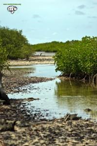 Senegal manglar