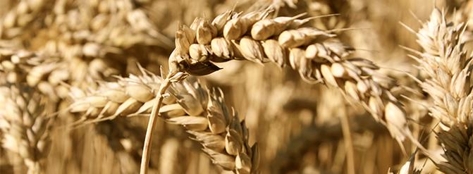 Soluciones de la agroindustria alimentaria: trigo transgénico para los celíacos